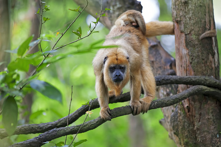 arboreal: Mantled Howler Monkey with child hanging from a tree