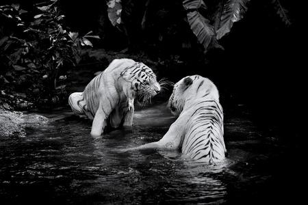 tigresa: Cuadro blanco y negro de dos tigres blancos Foto de archivo