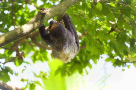 manuel: A Two-toed Sloth climbing down the tree in Manuel Antonio national park