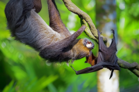 fruit bat: A Two-toed Sloth and flying fox in Manuel Antonio national park