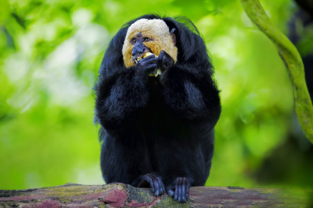saki: White-faced Saki Monkey sitting in the treetops Stock Photo