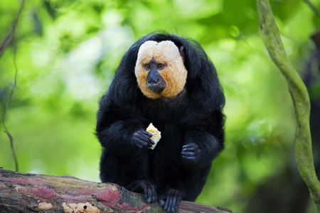White-faced Saki Monkey sitting in the treetops Stock Photo