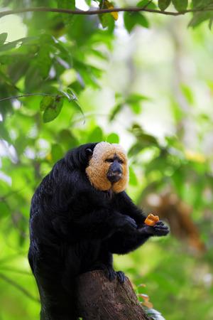 saki: White-faced Saki Monkey sitting in the treetops Stock Photo
