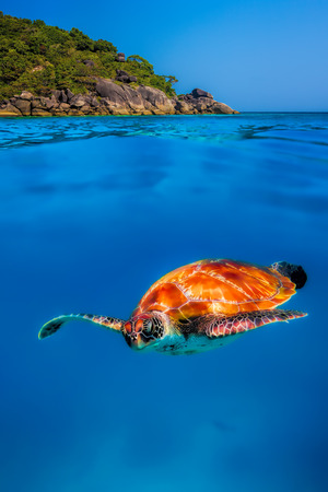 Hawksbill Turtle above and below at Similan Islands photo