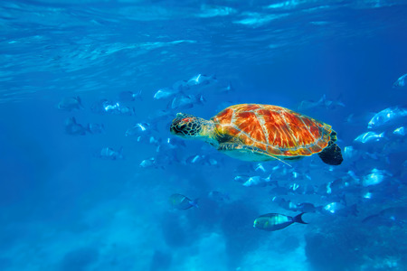 Hawksbill Sea Turtle in blue ocean at Similan Islands photo