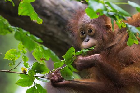 Borneo Orangutan 스톡 콘텐츠