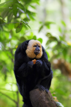 saki: White-faced Saki Monkey
