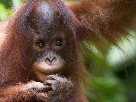 orangutan: Orangutan in the jungle of Borneo, Malaysia Stock Photo