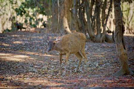 asia deer: Komodo Deer Stock Photo