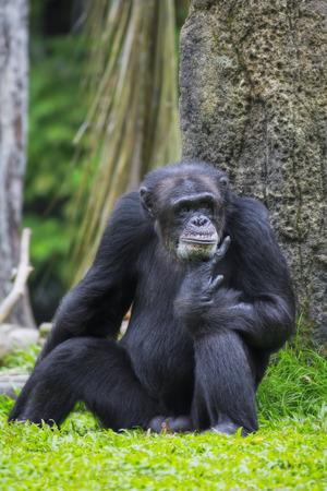 bonobo: Portrait of a Common Chimpanzee in the wild