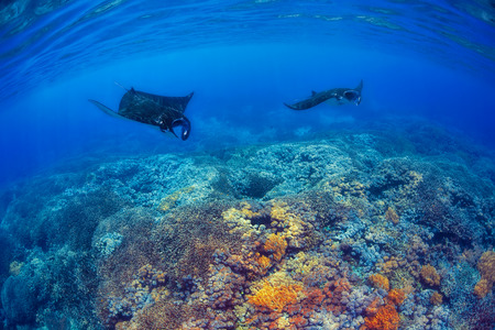 komodo: Manta rays filter feeding above a coral reef in the blue Komodo waters