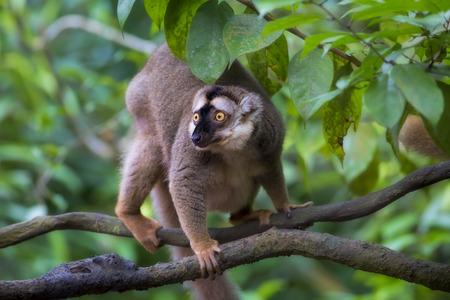 monkies: Lemur portrait Stock Photo