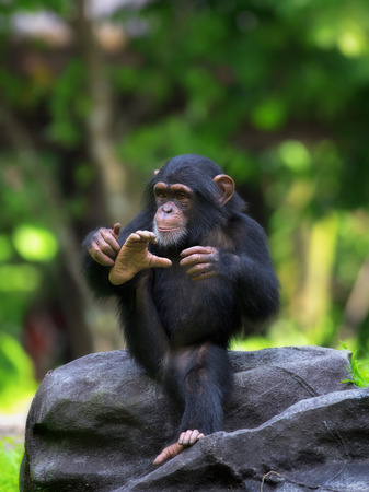 chimpanzee: Common Chimpanzee Stock Photo