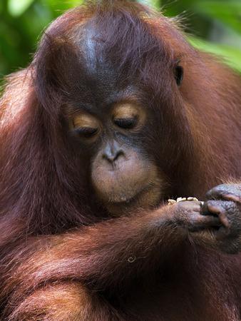 orangutan: Borneo Orangutan Stock Photo