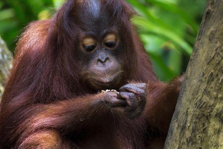 sumatra: Borneo Orangutan Stock Photo