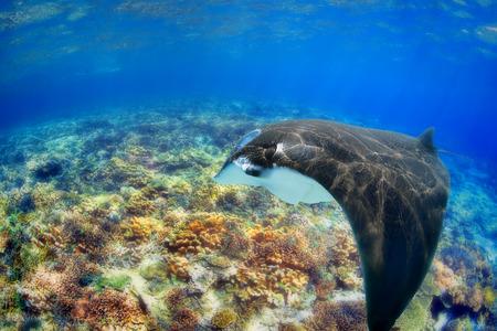 komodo island: Manta Ray