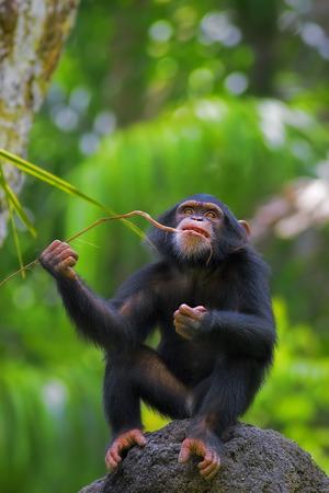 troglodytes: Common Chimpanzee Stock Photo