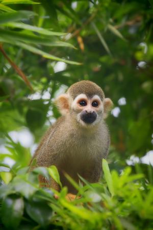 squirrel: Squirrel Monkey