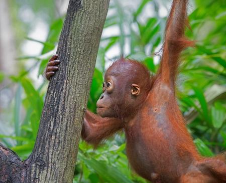 hominid: Orangutan in the jungle of Borneo, Malaysia Stock Photo