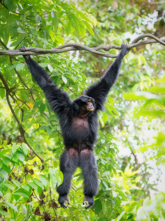 siamang: Siamang Gibbon hanging in the trees in Malaysia Stock Photo
