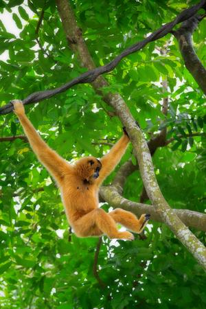 monkeys: Gibbon monkey in Kota Kinabalu, Borneo, Malaysia
