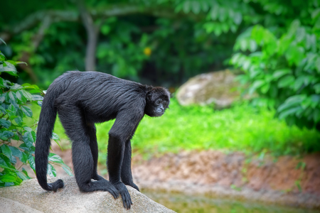black forest: Spider Monkey in the green jungle of Costa Rica Stock Photo