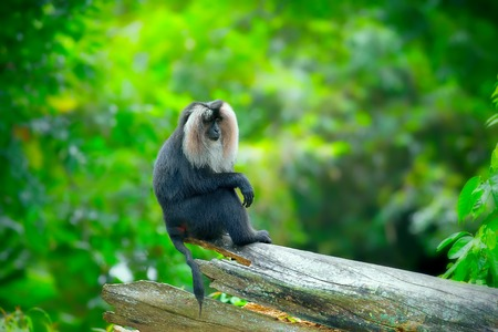 lion tail: Lion-tailed Macaque sitting on a branch in the jungle Stock Photo