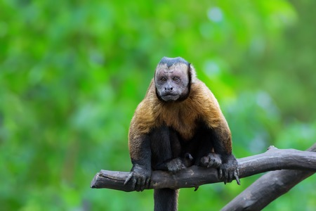 Brown Capuchin monkey sitting on a tree branch in the rainforest Stock Photo