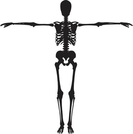 skeleton hand: Skeleton - vector