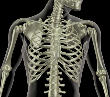 rib cage: 3D render of a skeleton showing close up of the rib cage