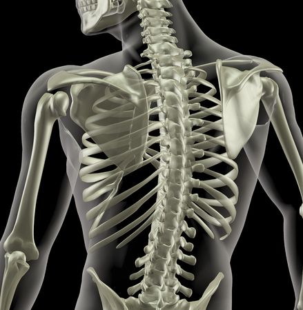 Close up of a torso of a medical skeleton photo