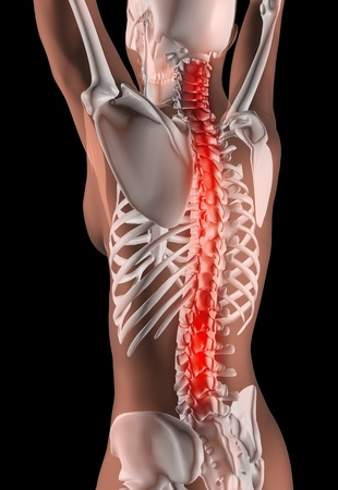 3D render of a female medical skeleton with the spine highlighted Stock Photo - 10272642