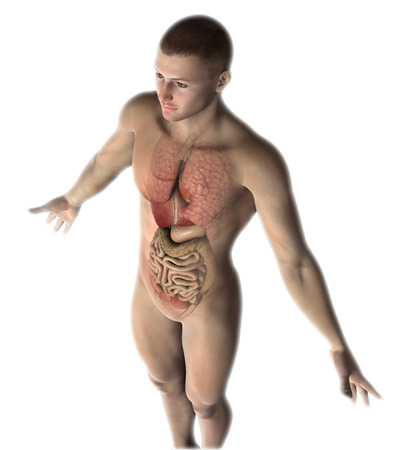 naked male body: 3D render of a male figure with healthy internal organs Stock Photo