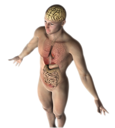 3D render of a male figure with healthy internal organs and brain photo