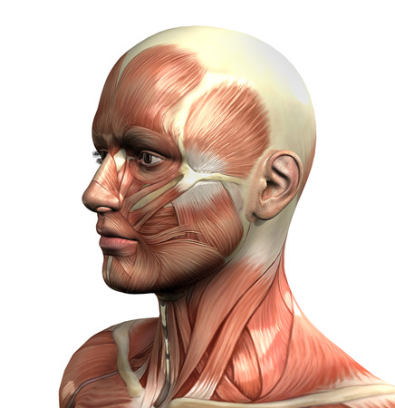 3D figure with close up of face with muscle map