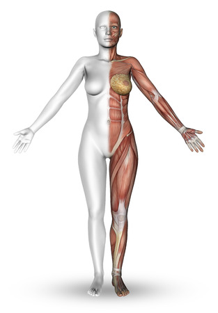 anatomy naked woman: 3D render of a female figure with half the body showing the muscle map