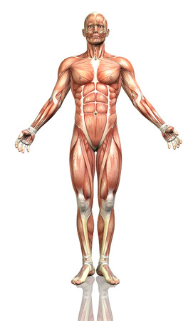 3D render of a male figure with a detailed muscle map