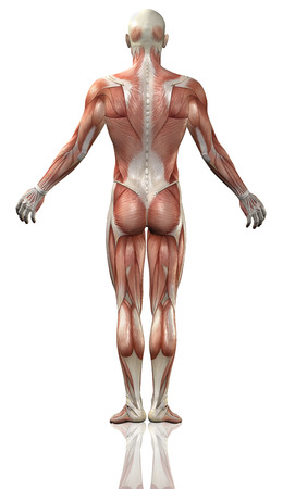 3D render of the rear view of a medical man with detailed muscle map Stockfoto