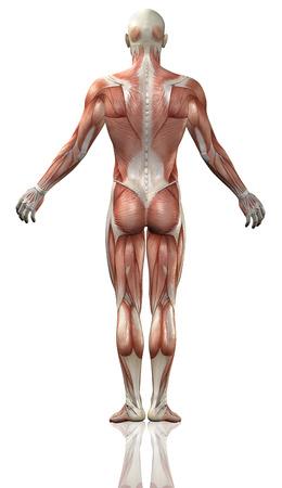 3D render van het achteraanzicht van een medische man met gedetailleerde spier kaart