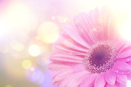 gerbera daisy: Gerbera daisy image with vintage retro effect
