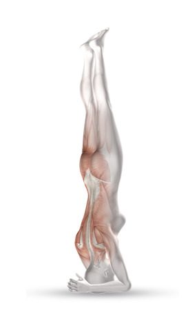 3D render of a female medical figure with partial muscle map in head stand position photo