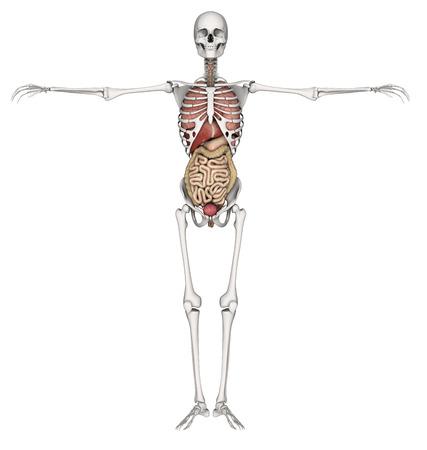 vitals: 3D render of a skeleton with internal organs exposed