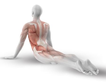 skeleton: 3D male medical figure with partial muscle map in yoga pose