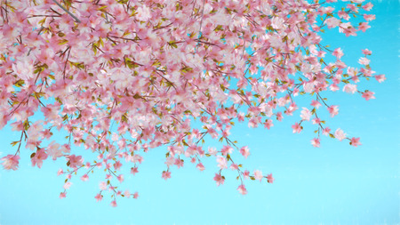 cherry blossom: Painted abstract image of cherry blossom blue background