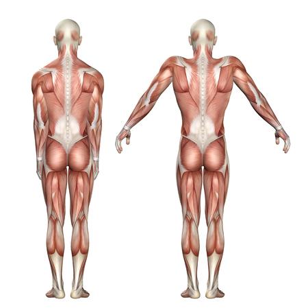 human figure: 3D render de una figura médica que muestra la elevación escápula y la depresión