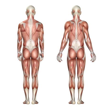 肩甲骨前方牽引と退縮を示す医療図の 3 D レンダリングします。