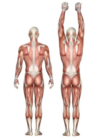 3D render of a medical figure showing scapula upward and downward rotation