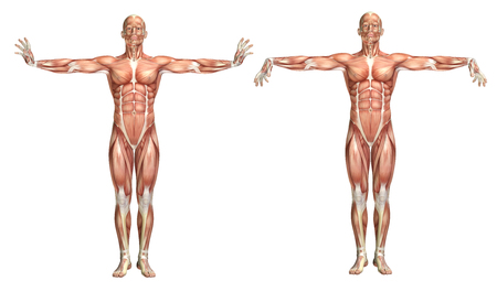 flexion: 3D render of a medical figure showing wrist extension and flexion