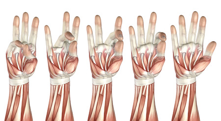 flexion: 3D render of a medical figure showing thumb touching each finger