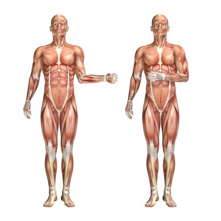 3D render of a medical figure showing shoulder external and internal rotation